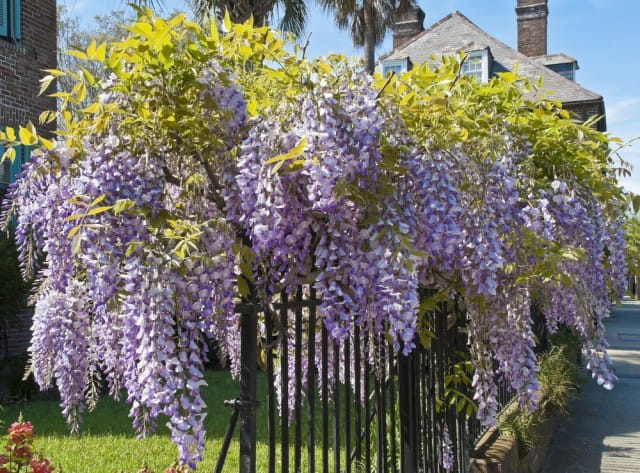 How To Grow Wisteria In The Garden Or Vase On The Balcony Wwoof